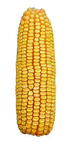 RFS-4405SS Silage Corn Image
